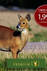 Chinese-Water-Deer