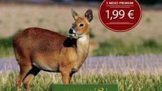 Chinese-Water-Deer